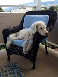 stop labradoodle jumping on furniture