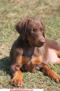 training a doberman