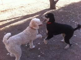 aggressive poodle