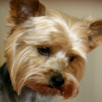 how to potty train a yorkie puppy