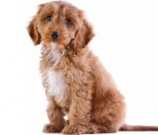 Cockapoo Dogs – Should You Get One?