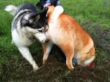 shiba inu digging