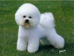 bichon frise dog training