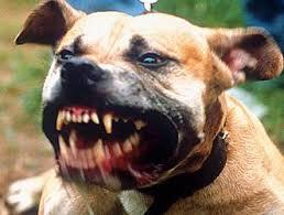 pit bull dog bites
