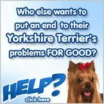 yorkie training