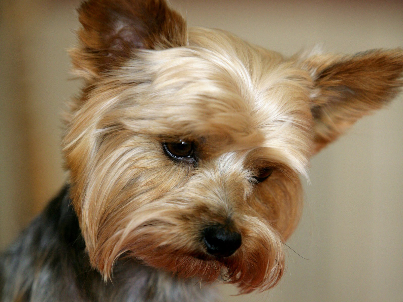 Yorkie Training - Why You Can't Afford Not to Train This Breed!